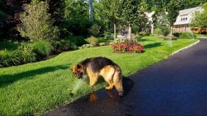 watering lawn during droughts
