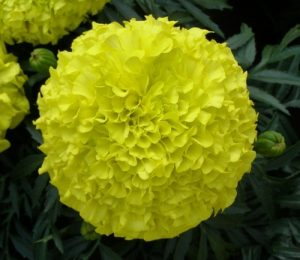 Marigolds from neave landscaping